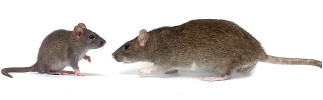 mouse and rat pest control Caledon