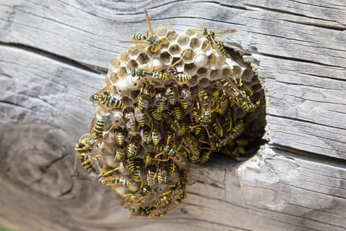wasp nest removal Caledon