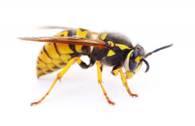 wasp removal service Caledon